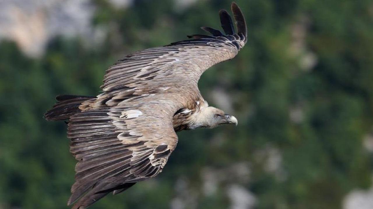 Ambiente, l'avvoltoio grifone tornerà a volare sulle Madonie