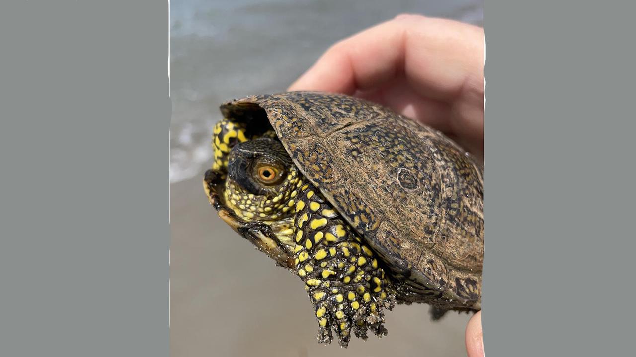 """Anche a Sciacca salvata tartaruga protetta """"emys trinacris""""  <font color="""