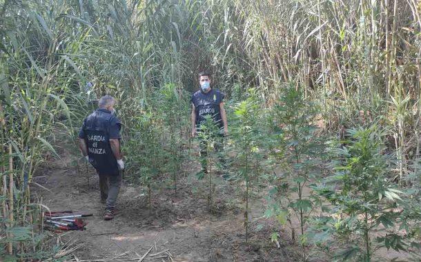 Partinico, scoperta piantagione di marijuana per un valore di 100mila euro <font color=