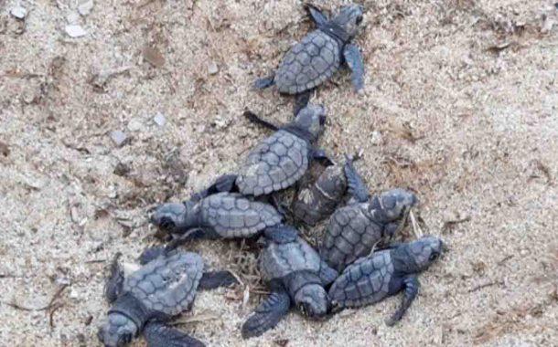 Lampedusa, continua la schiusa di tartarughe: ad oggi 220